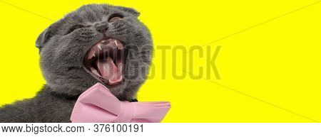 Adorable Scottish Fold cat wearing bowtie and meowing yellow on yellow studio background