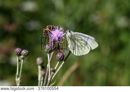 Black-veined White Butterfly Sits On A Flower