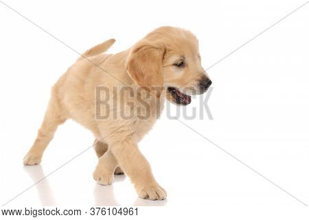 little golden retriever dog looking at something fascinating and stepping towards it on white studio background