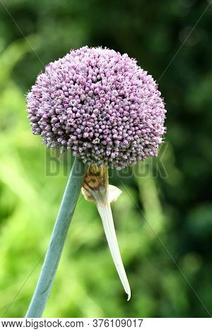 Flower Of Leek, Lat. Allium Ampeloprasum.  Compound Flower Of Leek Flowering In The Garden.