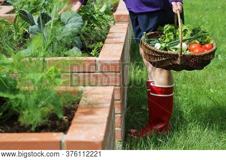 Woman Gardener Picking Vegetables .raised Beds Gardening In An Urban Garden Growing Plants Herbs Spi