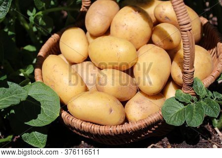 The Picture Shows Potatoes In A Basket On A Potato Field