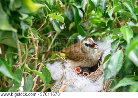 Mother Bird Feeding Bapy Birds In A Nest Of Yellow-vented Bulbul (pycnonotus Goiavier), Or Eastern Y