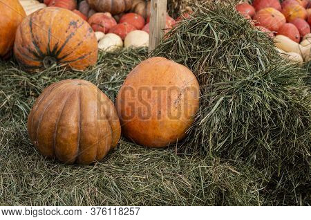 Pumpkins Of Different Sizes Lie On The Straw. There Are Many Orange Pumpkins In The Background. The