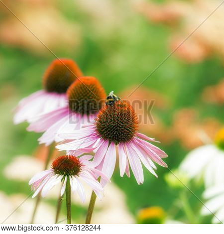 Pink Flowers Of Echinacea Purpurea With Bumblebee On A Green Background. Bumblebee Collects Pollen O