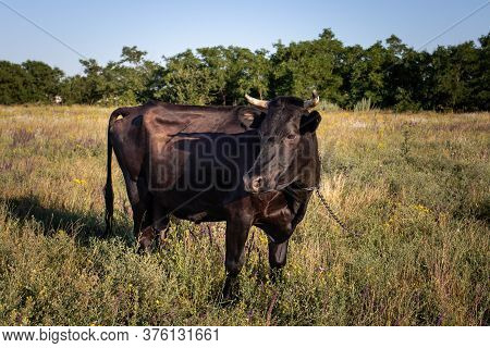 A Black Cow With A Chain Around Its Neck Grazes On A Meadow And Eats Grass. Cow Grazing, Pasture And