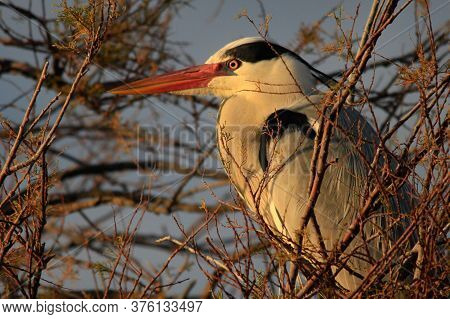 A Grey Heron Sits In A Tree In The Camargue, France, During Sunset.