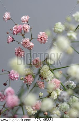 Multicolored Bouquet Of Gypsophila Flowers On Gray Background. Minimal Composition Of Gypsophila Flo