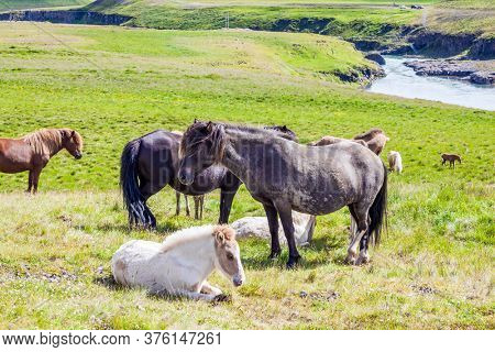 Herd of horses. Beautiful horses of a unique Icelandic breed. Golden summer sunset in Icelandic tundra. Only one breed of horse lives in Iceland. Iceland. Ecological and photo tourism concept