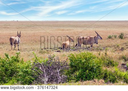 Kenya. Safari in Masai Mara National Park. Antelopes from the bovine family - Eland kanna. The largest antelopes in the world. Ecological, active and phototourism concept