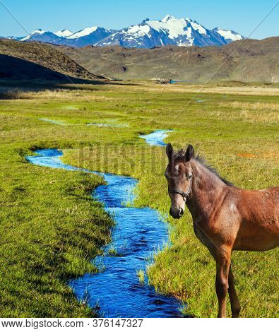 Great sleek mustang. Small puddles and streams overgrown with grass. Pampas surround the  mountains. Argentina, Patagonia. Pampas of South America