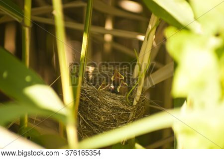 Acrocephalus Warblers Chicks In The Nest. Marsh Warbler Or Reed Warbler Chicks In The Nest Awaiting