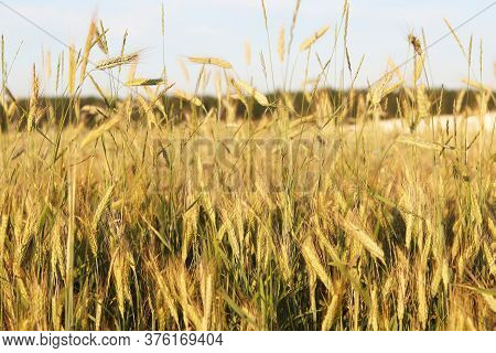 Beautifal Wheat Field With Yellow Spikelets And Fortest
