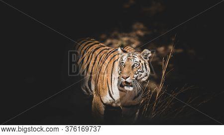 Fine Art Image Of Bandhavgarh Wild Female Tiger At Bandhavgarh National Park Or Tiger Reserve Madhya