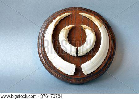 Set Of Wild Boar Canine Teeth On Decorative Wooden Board
