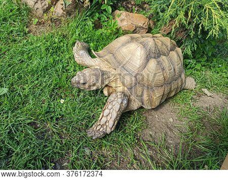 Aldabra Tortoise (aldabrachelys Gigantea) On Green Grass