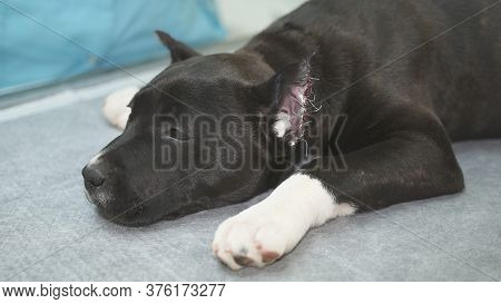 Veterinarian Stroking Staffordshire Terrier In Veterinary Clinic After Surgery To Trim The Ears.