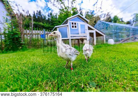 Two Little Pheasant Chicks In Front Of A Blue Chicken House
