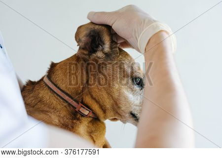 Red Dog Of The Breed Of A Tessa At A Veterinarians Appointment. The Dog Veterinarian Examines The Ea