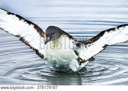Brown White Cape Petrel Pintado Petrel Cape Fulmar Seabird Stretching Wings Swiimming Paradise Bay S