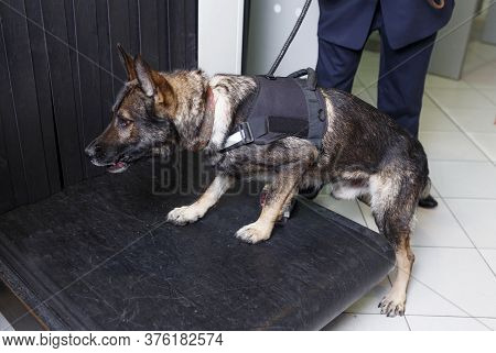Closeup Of A Dog For Drug Detection Check In The Baggage Rolling Band With Custom Officer At The Air