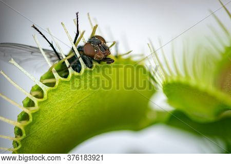A Close Up Photograph Of A Common Green Bottle Fly Insect Caught Inside A Carnivorous Venus Fly Trap