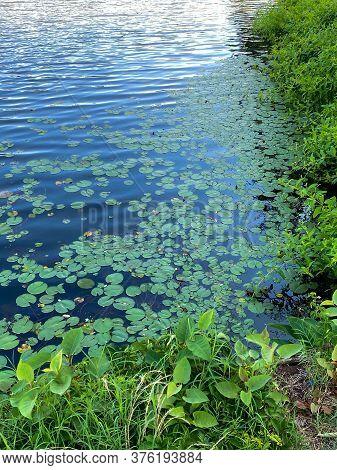 Summer Lillypads On Lake Lefferts In Matawan New Jersey.