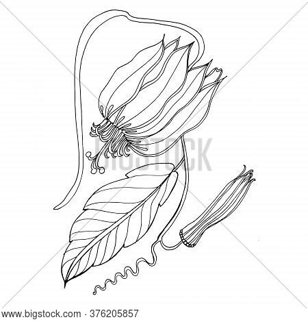 Passion Flower. Passiflora Vitifolia Tropical Flower Graphic Drawing.