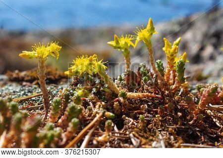 Close Up. Small Yellow Flowers On Hillside On Shore Of Lake Ladoga. Selective Focus. Yellow Flowerin