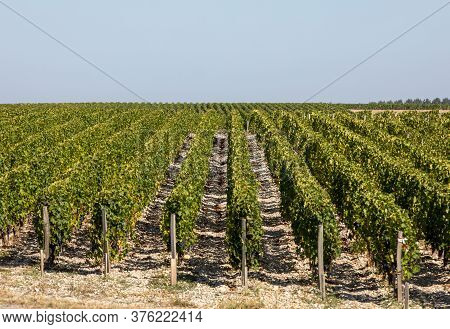 Ripe Red Grapes On Rows Of Vines In A Vienyard Before The Wine Harvest In  Margaux Appellation D'ori