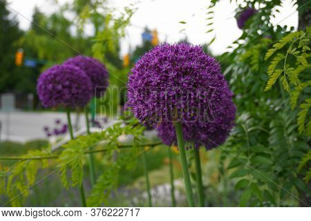 Bright And Showy Allium Giganteum Flowers Close Up. Vivid Giant Balls Of Blooming Allium Flowers. Co