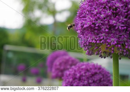 Beautiful Honey Bee Extracting Nectar From Bright And Showy Allium Giganteum Flowers Close Up. Vivid