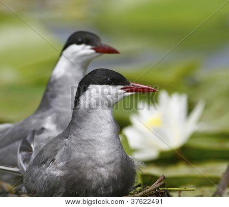 Whiskered tern ( Chlidonias hybridus ) pair
