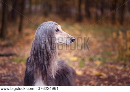 Dog, Gorgeous Afghan Hound  Against The Background Of The Autumn Forest, Space For Text , Toned Red