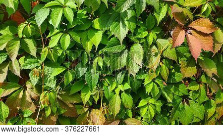Ivy On The Fence. Wild Vine Ivy. Beautiful Wall Of Wild Green Grape Leaves, . Texture Of Wild Grapes