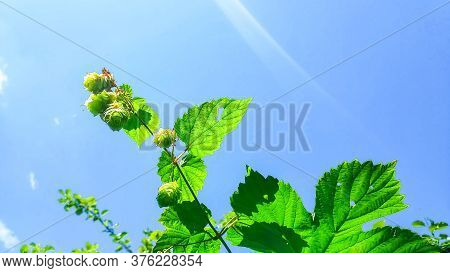 Hop Cones .raw Material For Beer Production.ripened Hop Cones.agriculture Background