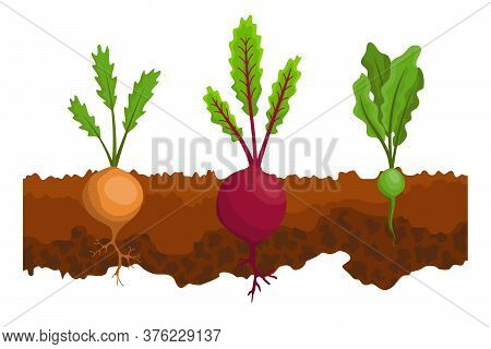 Vegetables Growing In The Ground. One Line Turnip, Beet. Plants Showing Root Structure Below Ground