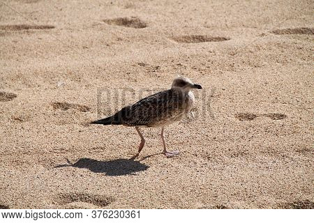 Seagull Against Seashore. Close Up View Of White Bird Seagull On The Beach. Wild Seagull With Natura