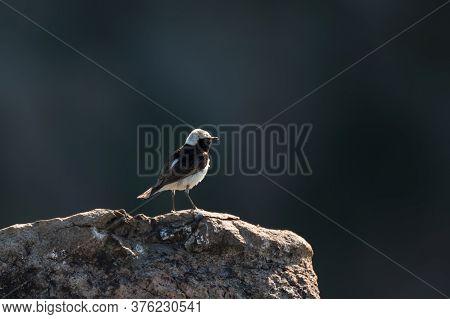 The Pied Wheatear, Wild Bird Sits On A Stone