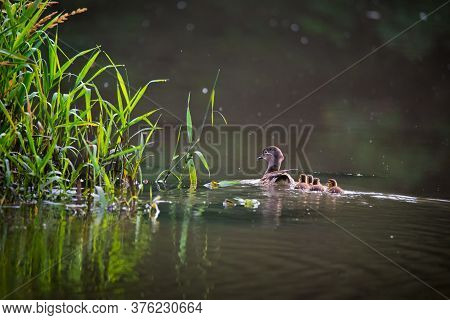 Waterfowl Bird Family Of Mandarin Ducks On The Lake