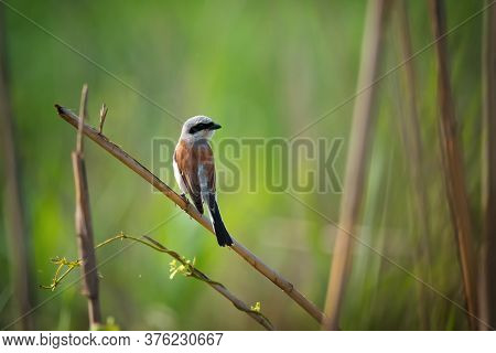 Beautiful Red-backed Shrike, Wild Bird Sits On A Reed