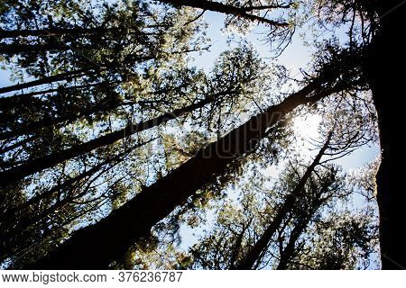 Pine Forest Near Ooty Pykara Tamilnadu India.  Pine Tree Forests Boasts Of A Good Collection Of Orde