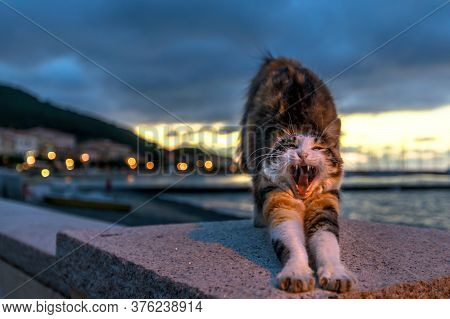 Female Cat Of Marciana Marina Village, Along The Waterfront At Night In Italy. Stretching And Yawnin