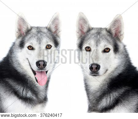 Tlwo equal husky siberian dogs isolated on a white background
