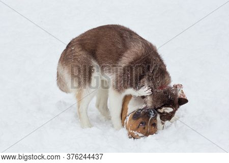 Cute Siberian Husky Puppy And Amstaff Puppy Are Playing In The Winter Park. Pet Animals.