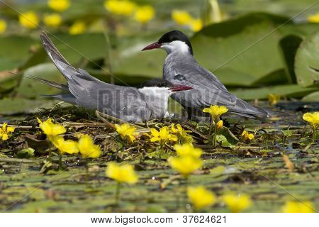 A pair of whiskered terns among water lilly