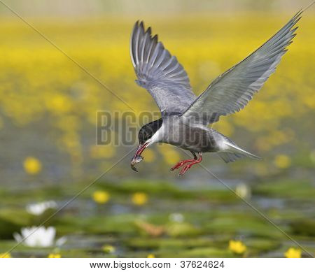 Whiskered tern in flight with captured fish