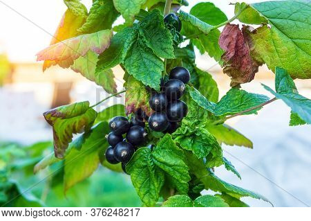 Black Currant On A Bush Branch After Rain In The Garden, Black Currant Crop On A Branch. Concept Of