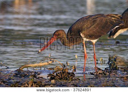 Black stork captured little fish