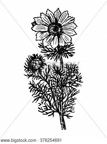 Adonis Branch With Flowers And Leaves On Isolated Background. Plant Pheasants Eye Sketch Cosmetics,